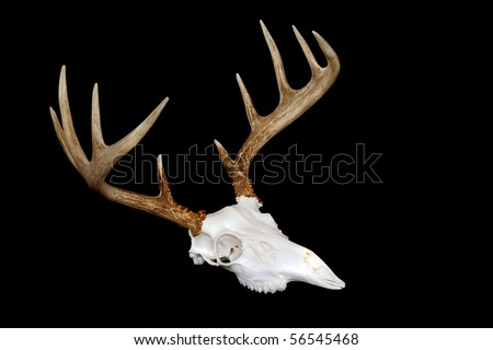 An angled view of a european deer mount - stock photo