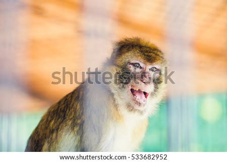 An angry  Monkey Behind the Bars in the ZOO is Showing its Teeth