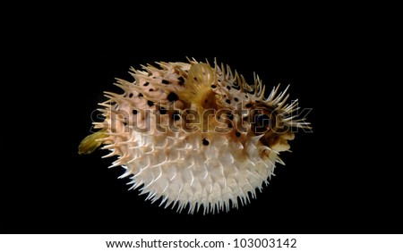 An angry puffed up blow fish on a black background - stock photo