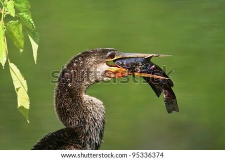 An Anhinga bites off more than he can chew. - stock photo