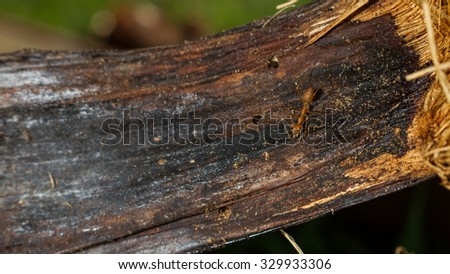 An ant on fallen palm leave.