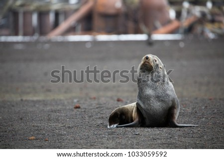 An Antarctic fur seal on Deception Island in Antarctica. This is an old abandonded station on the Antarctic peninsula