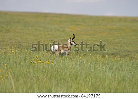An antelope in a field in Custer State Park South Dakota. - stock photo