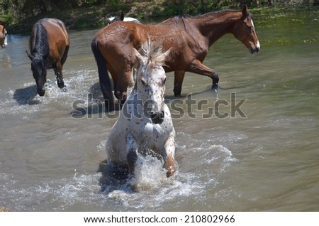 An appaloosa mare leaping forward into the water. - stock photo