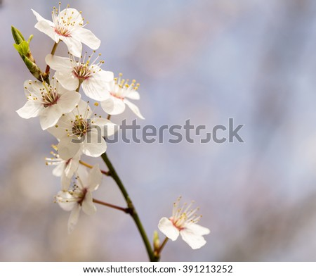An Apple Blossom Photo. Spring brings the delicate pastel hues of the apple blossom into the day,