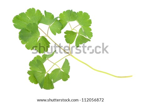 An Aquilegia flower leaf isolated white - stock photo