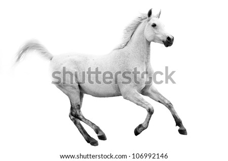An Arab stallion or gelding running,cantering or galloping on an isolated white background