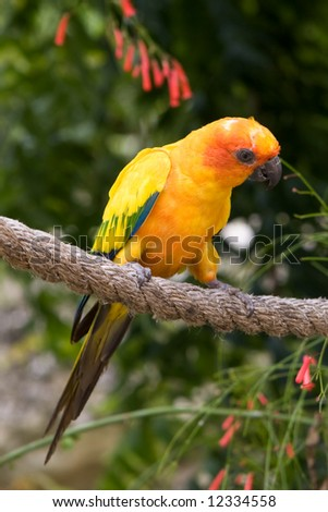 An Aratinga Jandaya (also known as yellow headed conure) on a rope