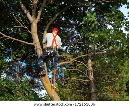 An Arborist Cutting Down a Maple Tree Piece by Piece - stock photo