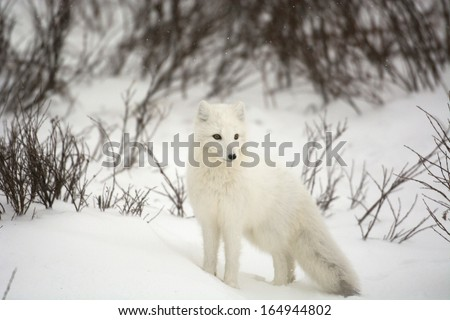 An arctic fox running and digging in the snow covered ground during an overcast day near Churchill, Manitoba - stock photo