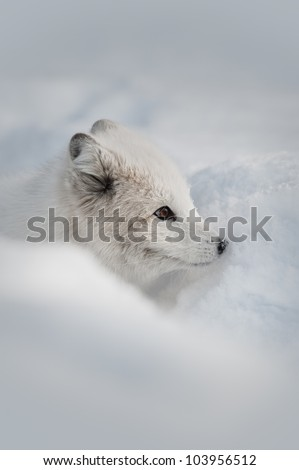 An Arctic Fox sniffing a snow bank for the scent of prey, or an intruder. - stock photo
