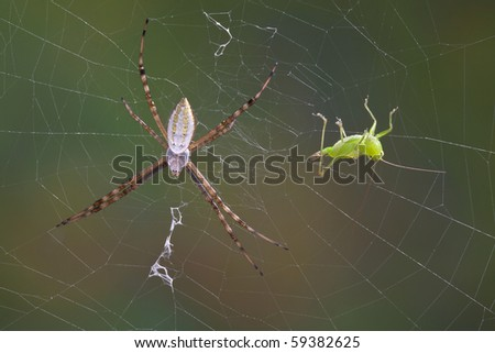 An argiope spider has caught a grasshopper in it's web. - stock photo