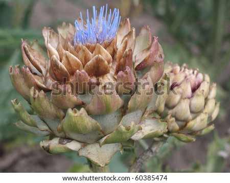 An Artichoke Flower - stock photo