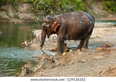 An asian elephant happily bathing in a river at Jaldapara Wildlife Sanctuary - stock photo