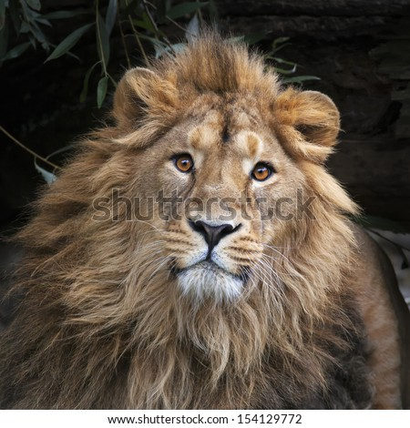 An Asian lion with shaggy mane in shadowy forest. The King of beasts, biggest cat of the world, looking straight into the camera. The most dangerous and mighty predator of the world. Square image. - stock photo