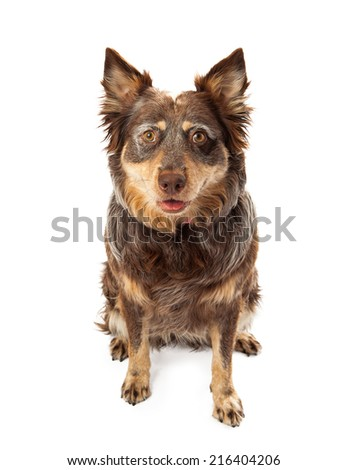 An attentive and cute adult mixed Shepherd breed dog sitting and looking forward - stock photo