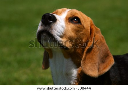 An attentive beagle looks up at his master.
