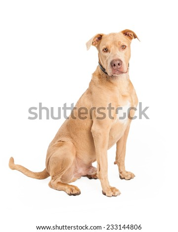 An attentive Staffordshire Bull Terrier Mix Breed Dog sitting while looking forward.  - stock photo