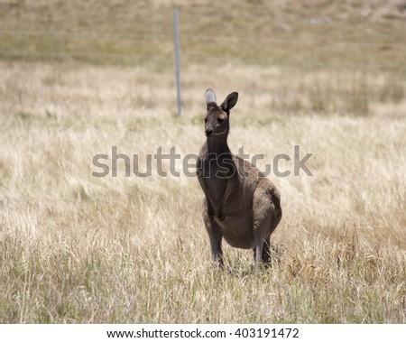 An  Australian  brown kangaroo jill   macropus rufus with a large  joey in her pouch grazing on a cloudy morning in early summer  in a paddock of  dry grass .   - stock photo