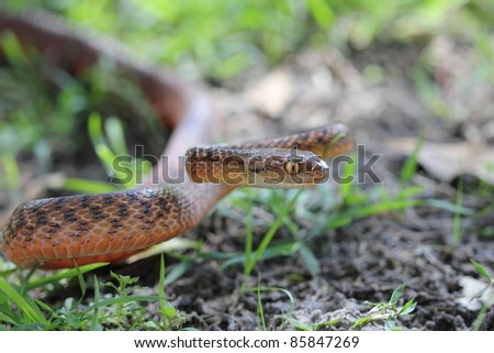 An Australian Brown Tree Snake in a defense pose - stock photo