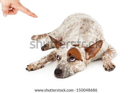 An Australian Cattle Dog mixed breed laying down on the floor and rolling his eyes up at a finger being pointed at him as he is being scolded.  - stock photo
