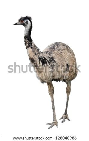 an australian emu isolated on white background - stock photo