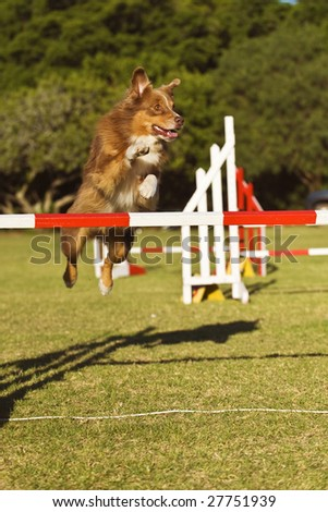 An Australian Shepherd clears the bar at a competition - stock photo