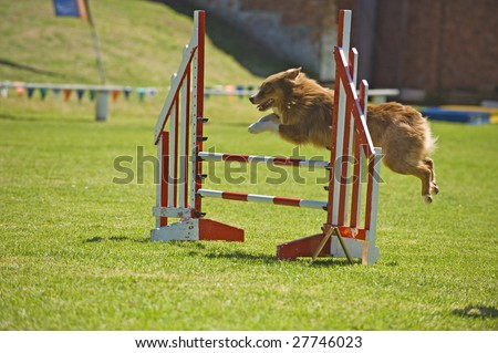 An Australian Shepherd clears the jump at a competition - stock photo