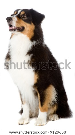 An Australian Shepherd dog photographed in studio