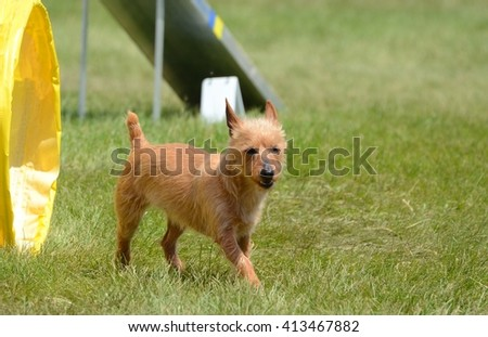 An Australian Terrier Leaving a Tunnel at a Dog Agility Trial