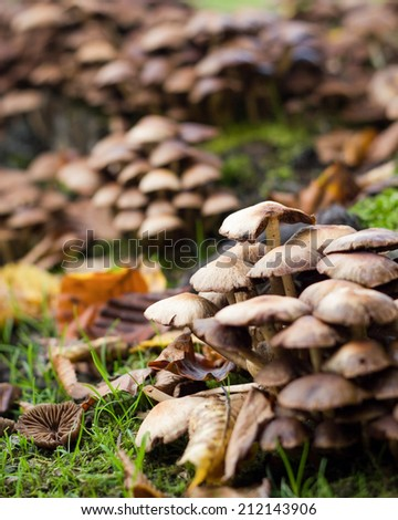 An autumnal rural detail of wild mushrooms growing amongst the decaying leaves of the season. - stock photo