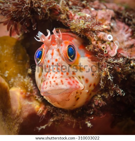 An blenny fish (Hypsoblennius sordidus) found in Papudo beach of the central Chile.    - stock photo