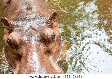 an close up of a hippo in the water - stock photo