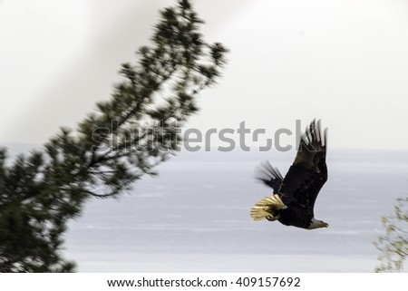 An Eagle Dives for the Hunt from a Tree - stock photo
