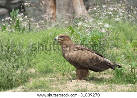 An eagle is looking for something on grass - stock photo