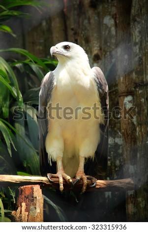An eagle sitting on a tree branch. Brahminy kite (Haliastur indus) - stock photo