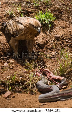 An eagle was approaching a dead snake - stock photo
