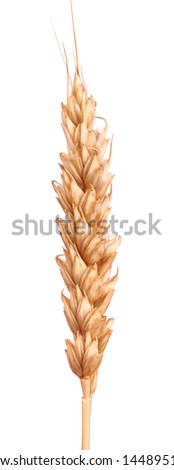 An ear is the grain-bearing tip part of the stem of a cereal plant. - stock photo