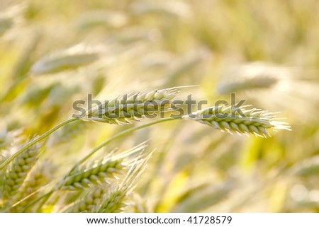 An ear of wheat on the field at sunrise in the springtime. - stock photo