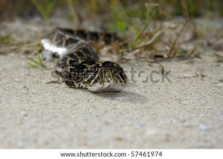 An eastern diamondback rattlesnake in the Everglades, Big Cypress National Preserve - stock photo