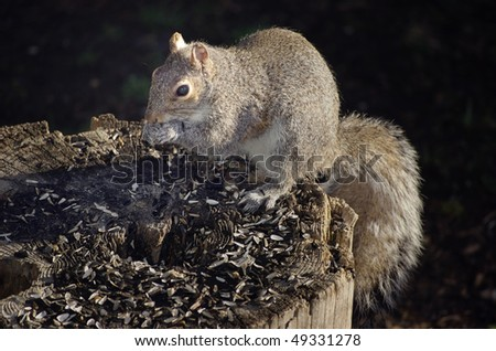 An Eastern Gray Squirrel eating sunflower seeds on a tree stump
