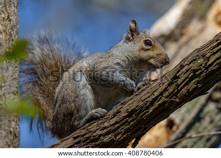 An eastern gray squirrel rests on a tree branch - stock photo