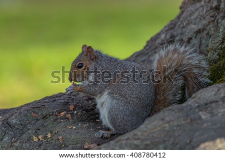 An eastern gray squirrel rests on a tree branch while feeding. - stock photo