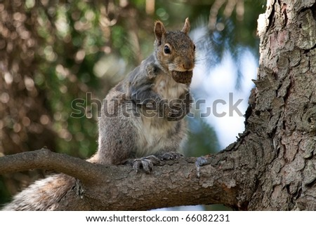 An eastern gray squirrel (Sciurus carolinensis) up a tree with a nut in its mouth. - stock photo
