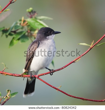 An Eastern Kingbird perched on a thin branch with a light green background. - stock photo