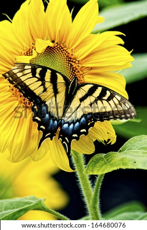 An Eastern Tiger Swallowtail Butterfly sits on a brilliant sunflower. - stock photo