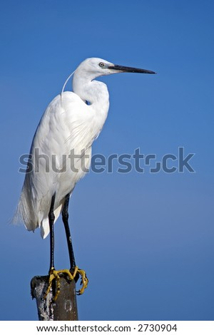 An egret, picture taken in Uganda at the borders of Lake Victoria. - stock photo