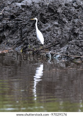 An egret standing on a shore in a mud - stock photo