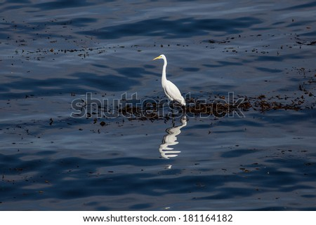 An egret stands on giant kelp growing just off the coast of California in the Pacific Ocean. The egret can hunt small fish and crabs that live in the floating kelp. - stock photo