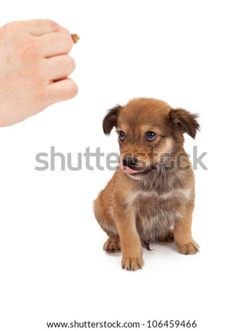 An eight week old puppy looking up at the trainer's hand that has a treat in it. - stock photo